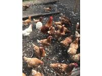 Hens for sale £5