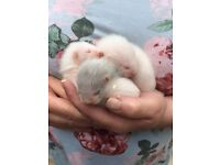 Three baby ferrets for sale