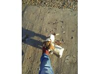 miniture jack russel x shih tzu puppies for sale
