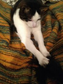 Missing - White and Tabby Domestic Cat- Leyton