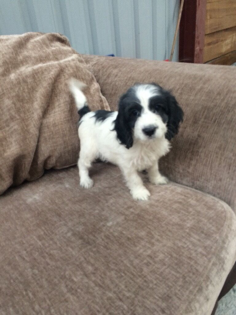 F1 Cockapoo Puppy Black  White Boy  In Dartford, Kent -9310