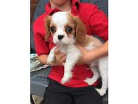 Cavalier King Charles Spaniel 1 Boy ready to go now