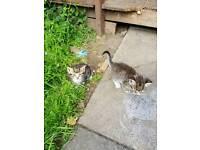 Little Kittens/Tabby Tigers