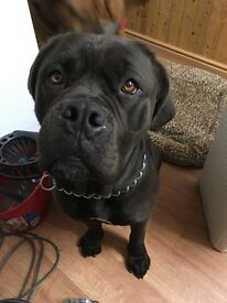 Mastiff, female, 2 year old looking for home