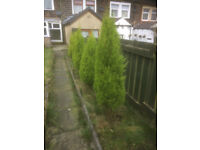5 Leylandii trees, approx 1.5 metres tall, buyer to remove