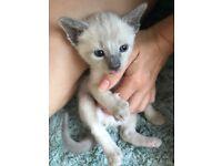Siamese X Himalayan kittens
