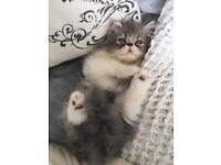Blue Persian boy kitten sold