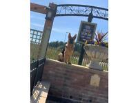 Sheprador puppies for sale