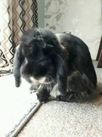 2 year old French lop and hutch
