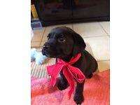Labrador Cross Girl