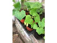 Cucumbers plants for sale
