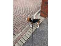 3 months Beagle puppy for sale! loving with kids, all vaccines, microchip. She s a lovely dog.
