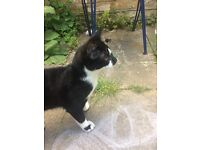 FOUND YOUNG B&W MALE CAT