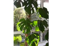 Mature Swiss Cheese 7ft Plant. Home/Office/Conservatory vgc.