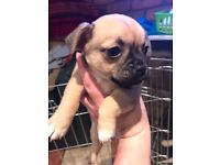 Chihuahua x pug puppies for sale