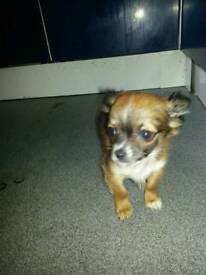 Minature chihuahua pup ( 3 months old)