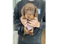 Beautiful miniature dachshunds