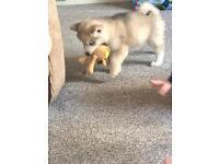 8 week old husky x Akita puppy