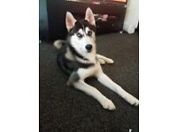 9 month old blue eyed black and white siberian husky.