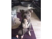 Blue Staffordshire terrier for sale