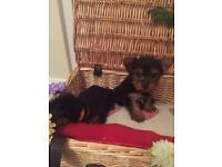 Yorkshire terrier miniature pups