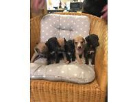 Bedlington whippet pups for sale
