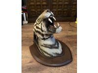 Taxidermy large theobald antique tiger head mounted rare