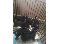 Beautiful Shollie Puppies (german sheppard x border collie)
