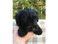 Gorgeous Jackapoo Puppies for sale