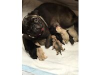 Kennel club redgistered pug puppy's