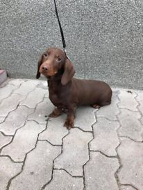 Lovely dachshund chocolate tan male puppy