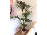 Indoor Tree Areca palm