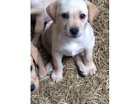 Stunning golden Labrador pups