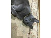 Russian blue male cat