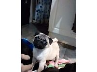 2 pug pups ready now Girl now sold