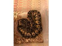 Female super pastel royal python