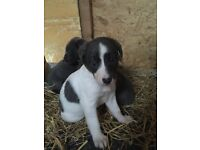 Saluki / collie greyhound puppies