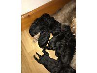 Adorable Beardoodle Puppies only 2 Black boys left