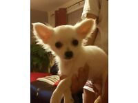 Long Coat Chihuahua puppy.1boy left!!!!