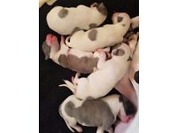KC registered Pedigree whippet puppies. 2 boys available.