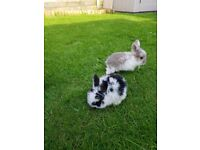 Rabbits/bunnies/ Rabbit kittens for sale – very cute – 1 month old