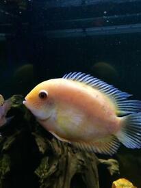 Severum Fish