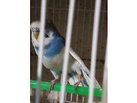Budgie Male bird parrot blue