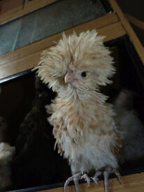 frizzle and polish chicks for sale ready now