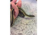 Ribbon / garter snakes