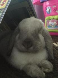 Neutered Lop Rabbit For Sale
