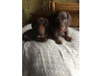 Miniature daschund puppies 2 x male available