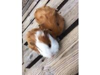 Baby Guineas pigs