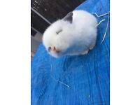 Tiny baby mini lop rabbits for sale