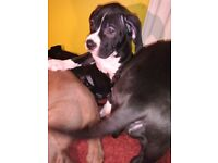 XL bullys puppies